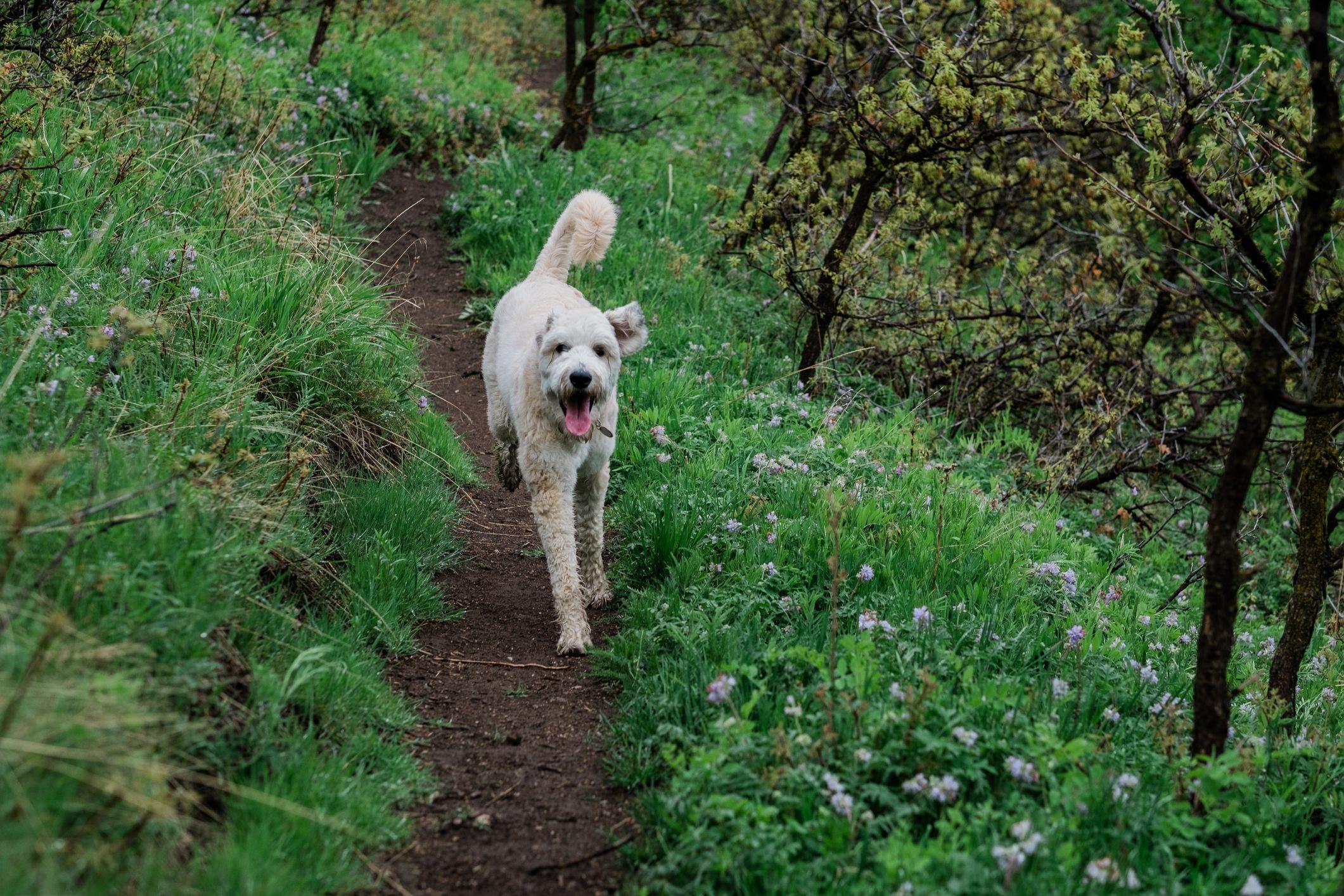 Bouvier des Flandres running on trail
