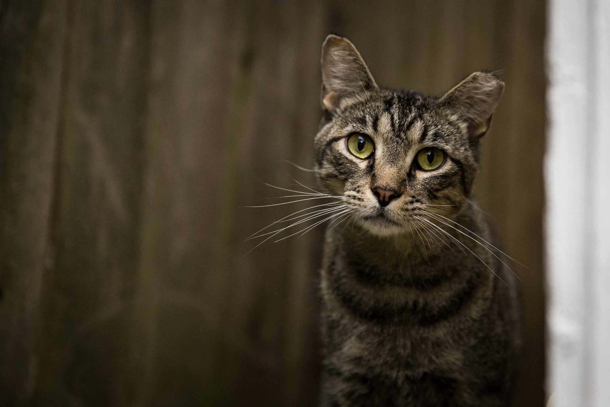 Tabby cat with tipped ear; feral cat vs stray cat
