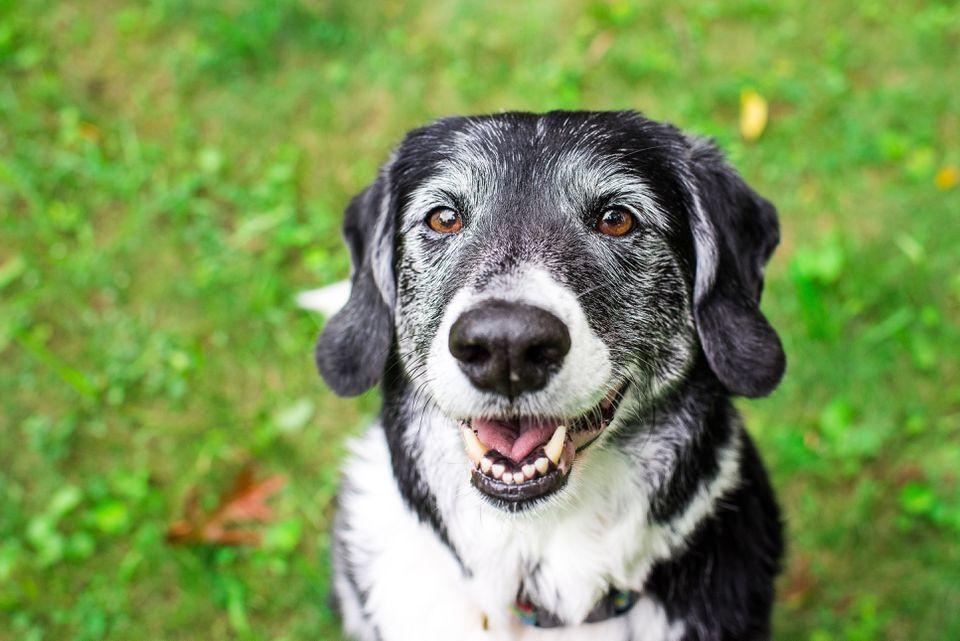 Old dog smiling outside