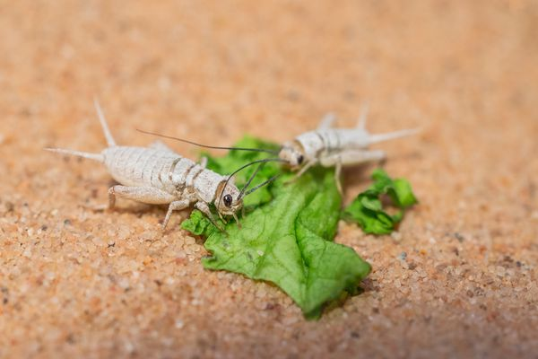 Crickets eating lettuce.