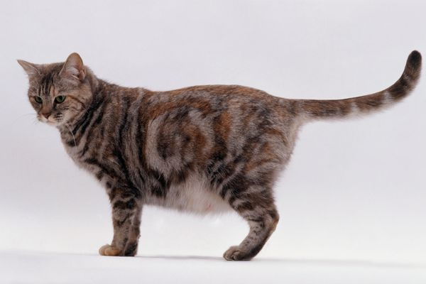 Photo of Pregnant Cat Standing
