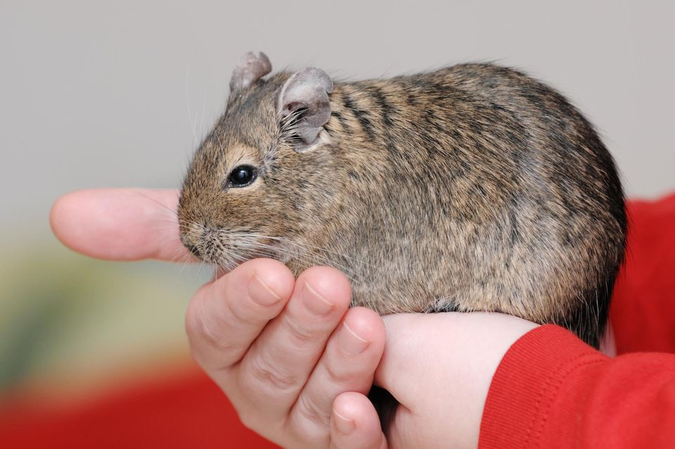 Degu in hands