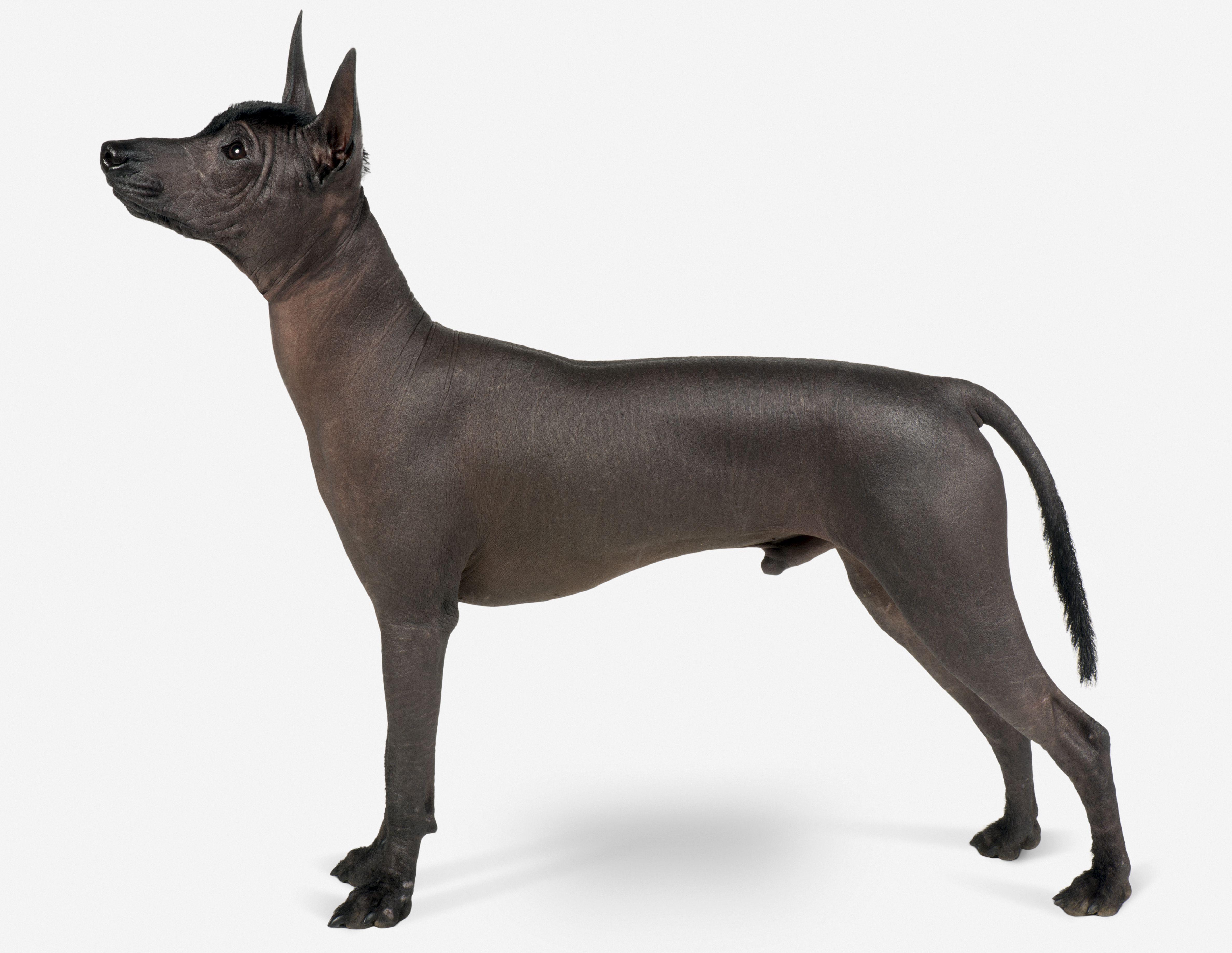 Mexican hairless dog (Xoloitzcuintli)