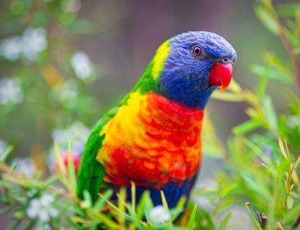 Rainbow Lorikeet