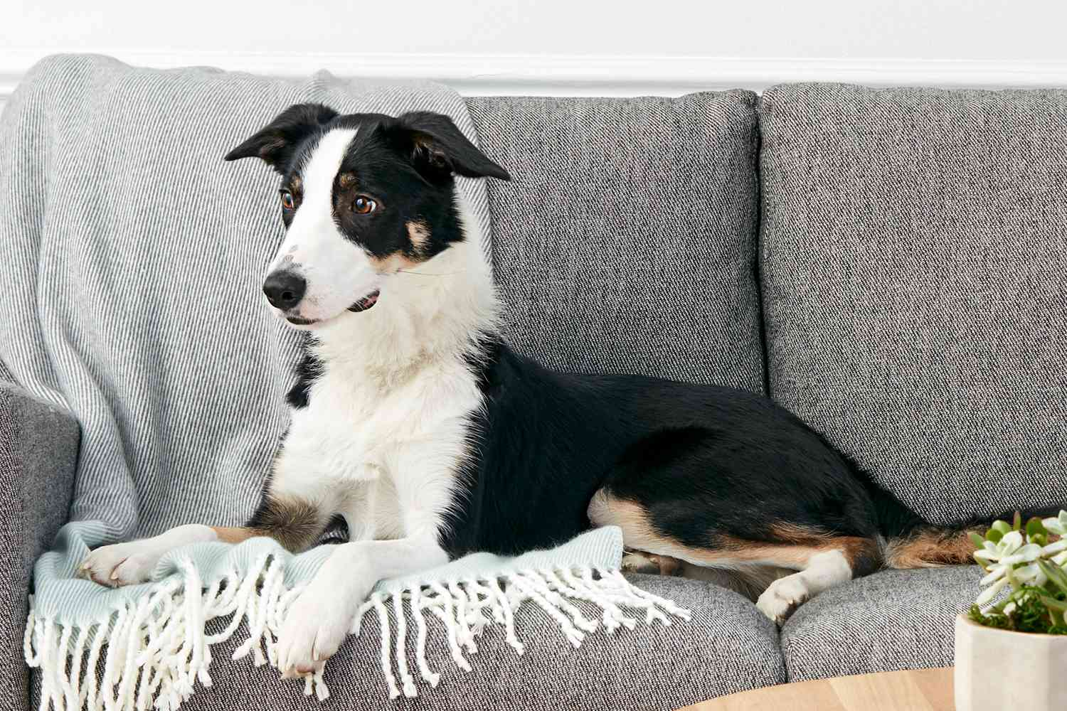 A Border Collie lounging on a sofa
