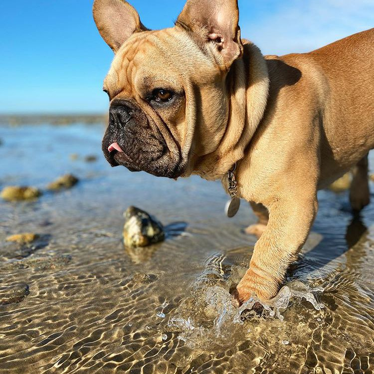 A light brown Frenchie splashing through the water at the beach.