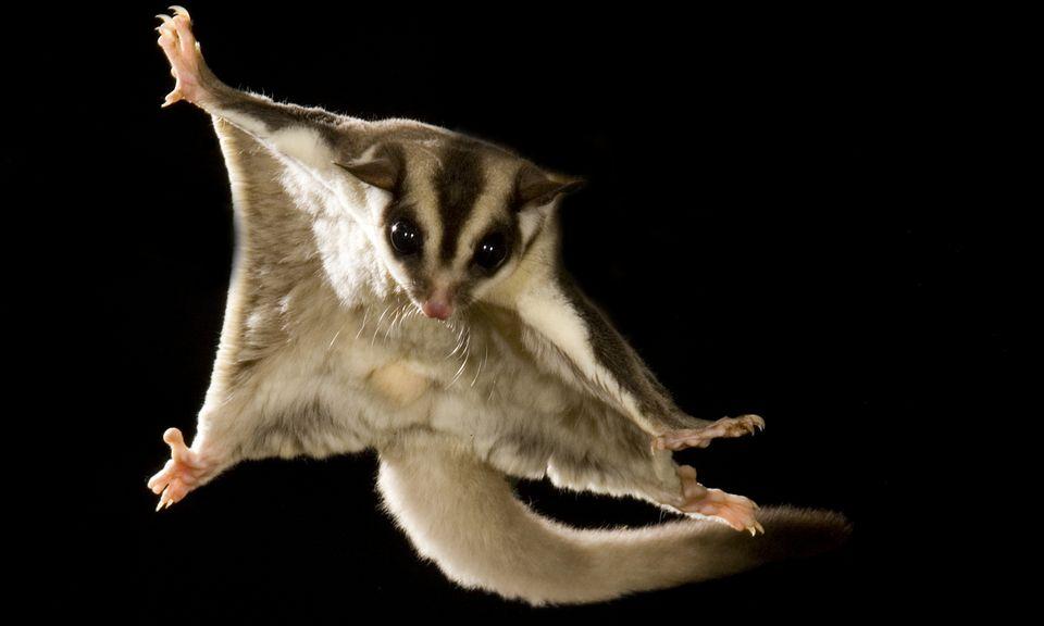 Sugar glider gliding