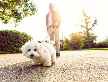 Small white dog walking on pavement in the sun.