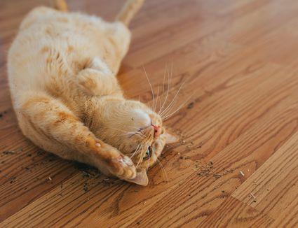 Cat enjoying cat nip