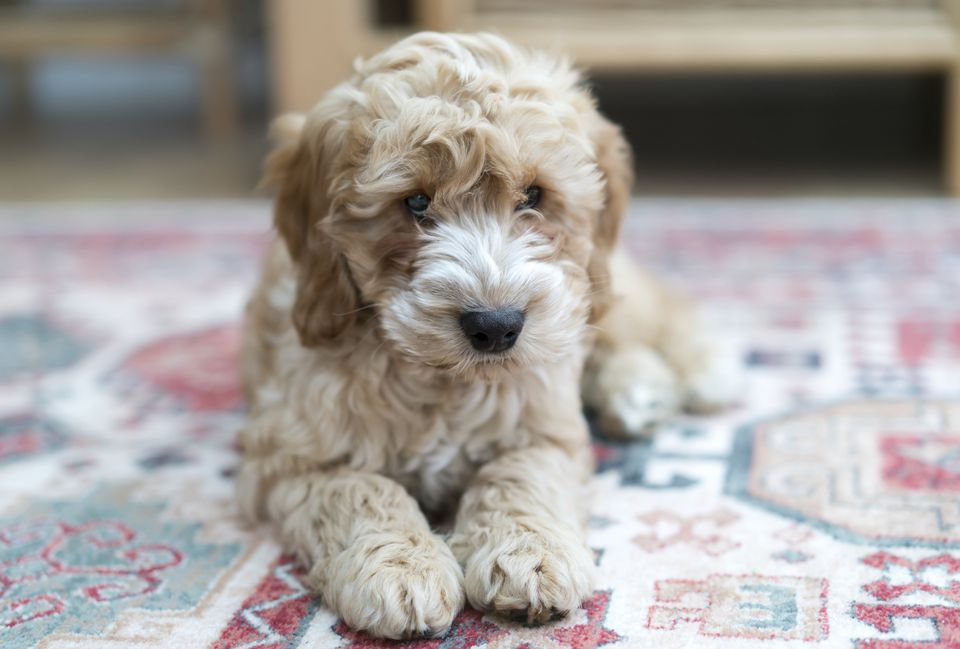 Cockapoo laying on a colorful rug at home