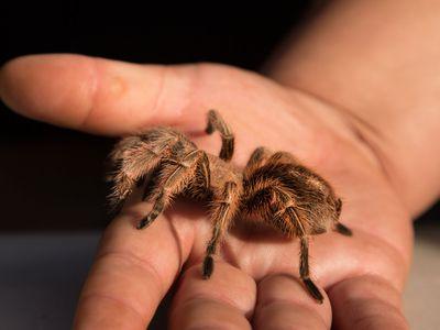 Keeping and Caring for Desert Blonde Tarantulas as Pets