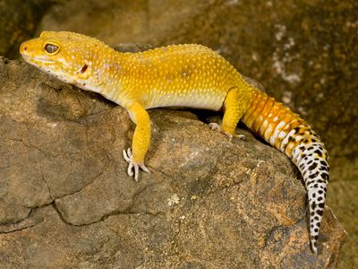 A Guide to Caring for Tokay Geckos