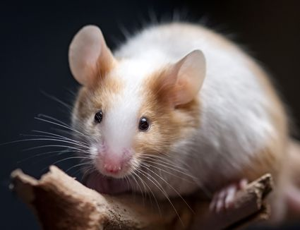 Choosing And Caring For Mice As Pets