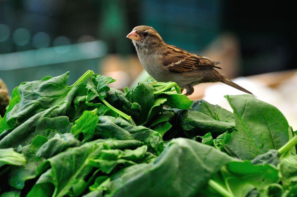 Spinach and sparrow, Ljubljana