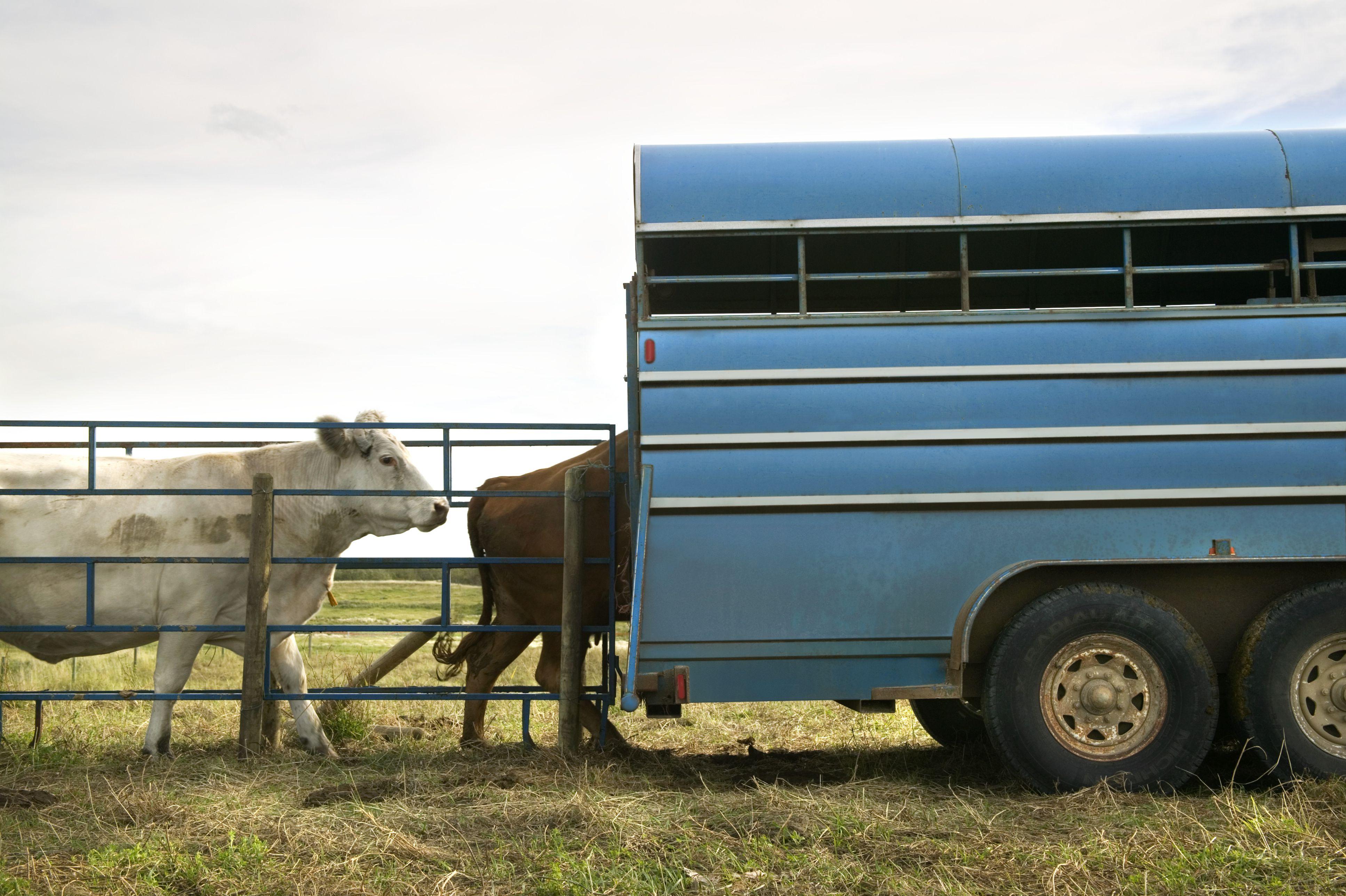 Cattle loading onto stock trailer.
