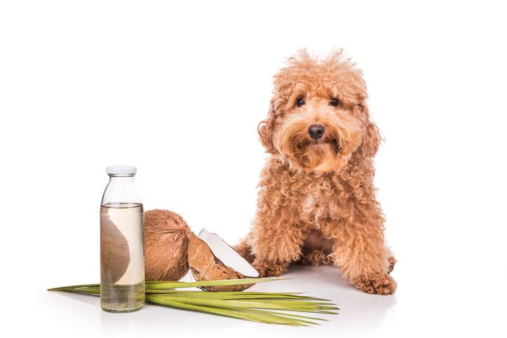 mini poodle with coconut and coconut oil