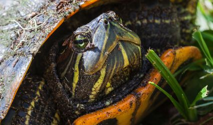 Yellow bellied slider close-up