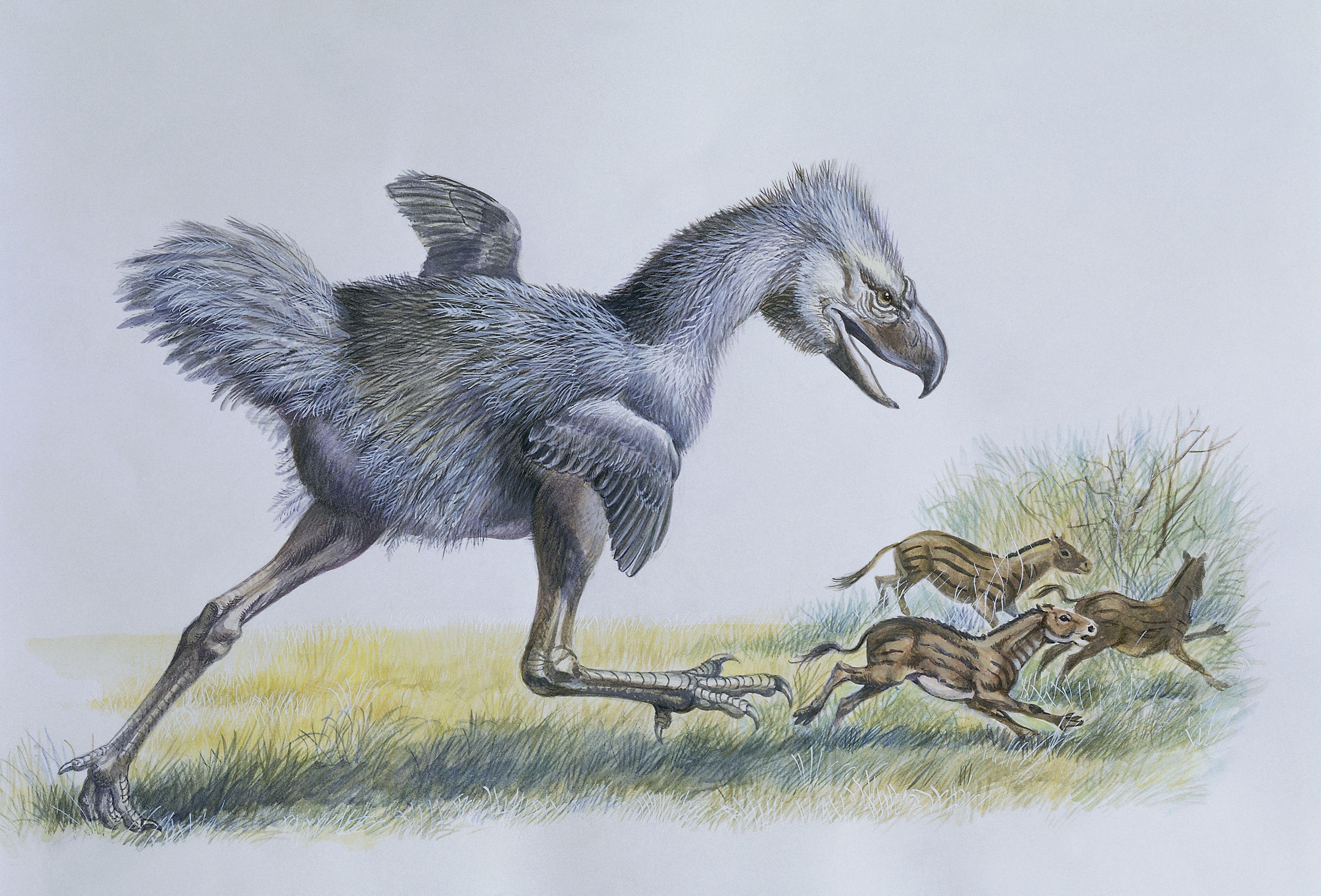 Close-up of a phorusrhacos (Phorusrhacos longissimus) chasing Eohippuses