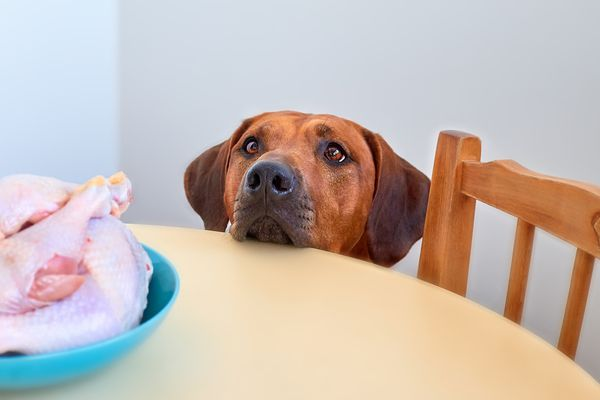 Dog staring at bowl of raw chicken on a kitchen table.
