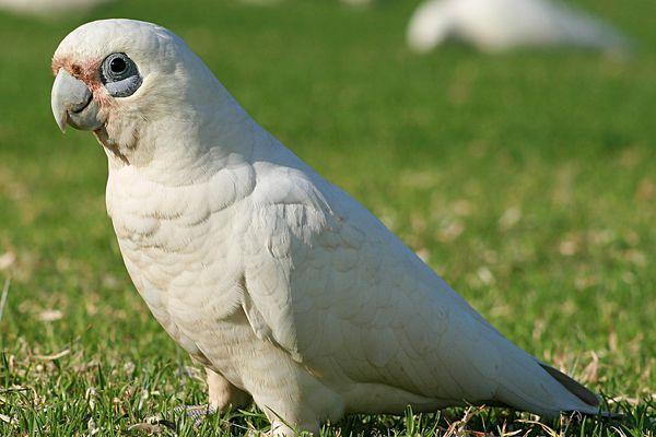 Bare Eyed Cockatoo