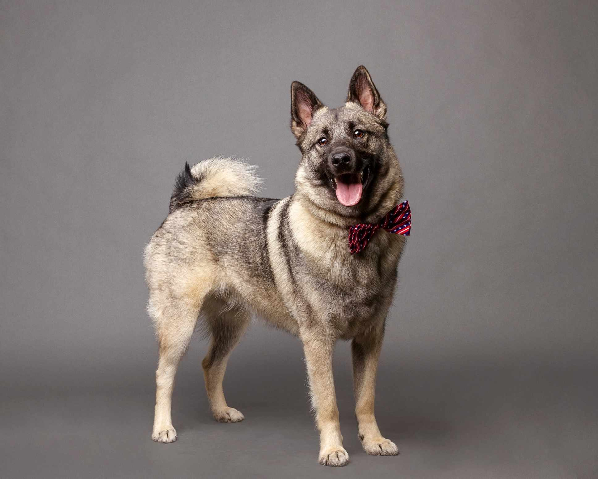 Norwegian Elkhound standing with a bowtie on in front of a grey background