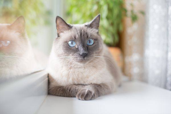 A beautiful fluffy Siamese cat with blue eyes lies on the windowsill