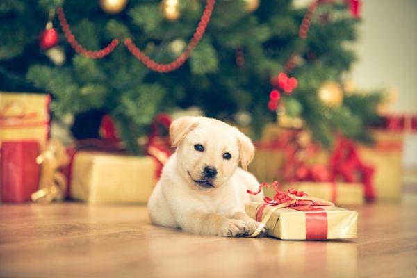Cute puppy celebrating Christmas