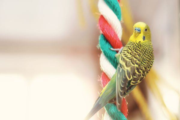 Funny Budgerigar. Budgie parrot sitting on rope and plays