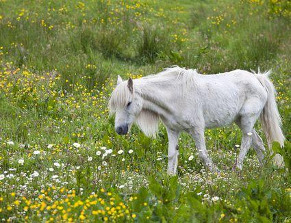 Skinny white pony