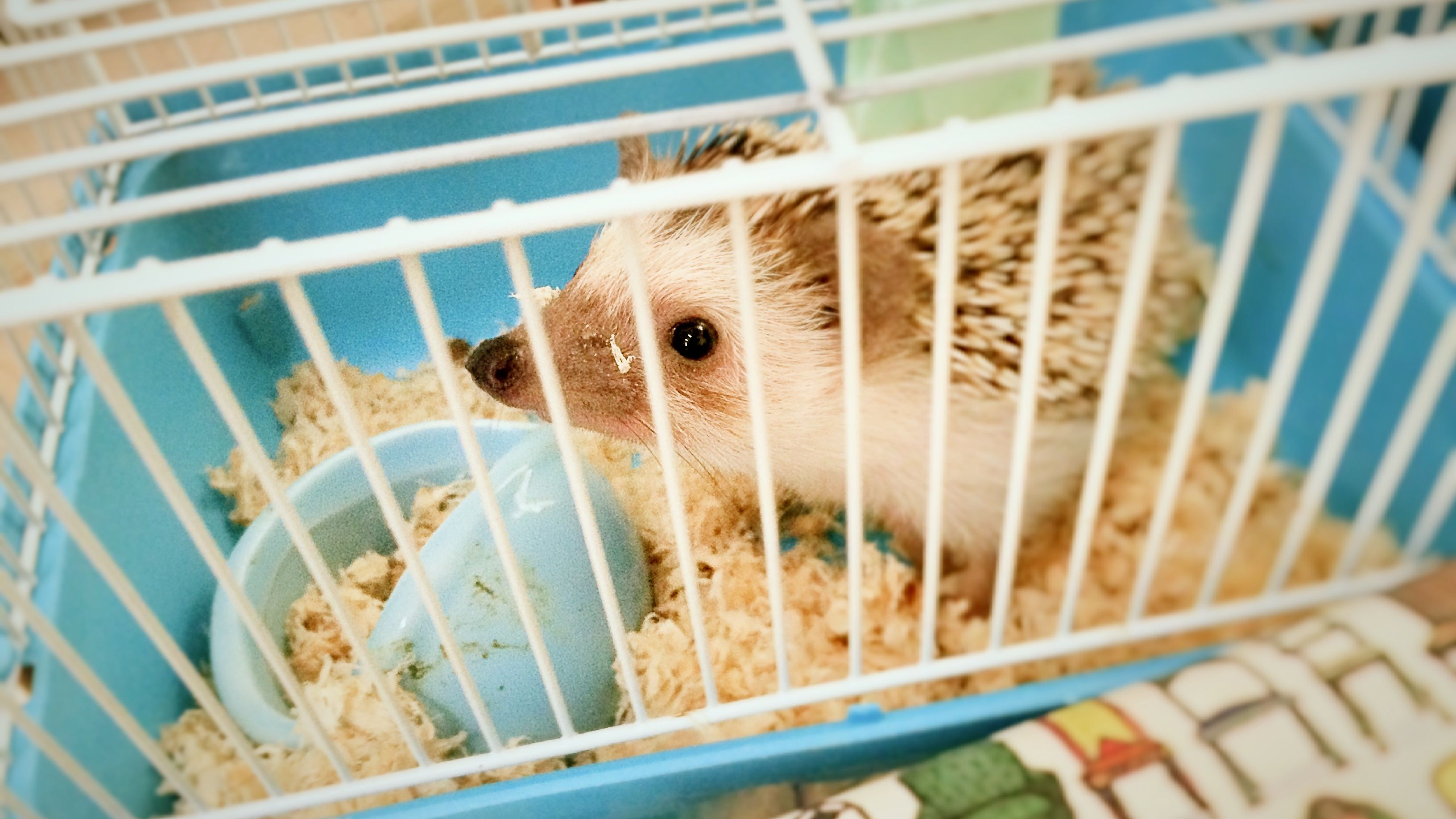 Cages and Other Housing for Pet Hedgehogs