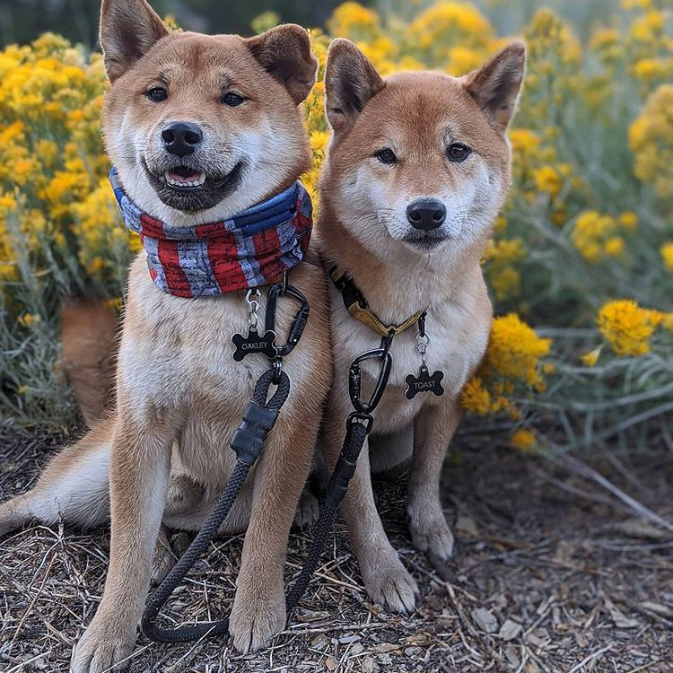 Two Shiba Inu dogs sitting and looking at the camera in front of yellow flowers.