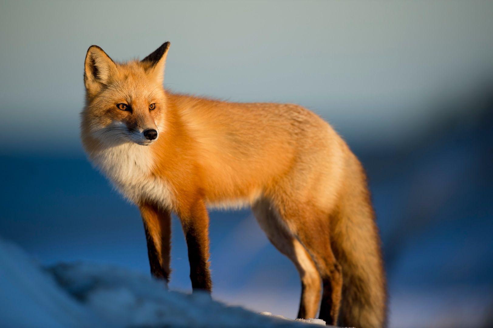 Red fox standing in sunlight