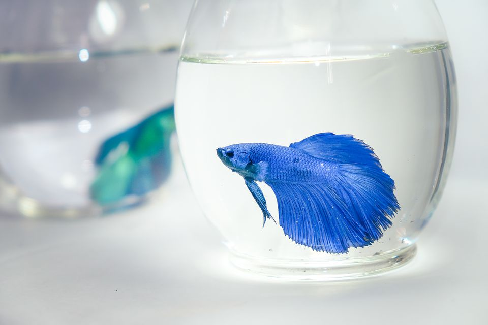 Close-Up Of Siamese Fighting Fish In Fishbowls Against White Background