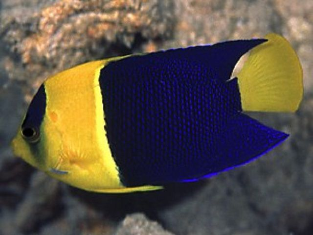 Bicolored Angelfish (Centropyge bicolor)