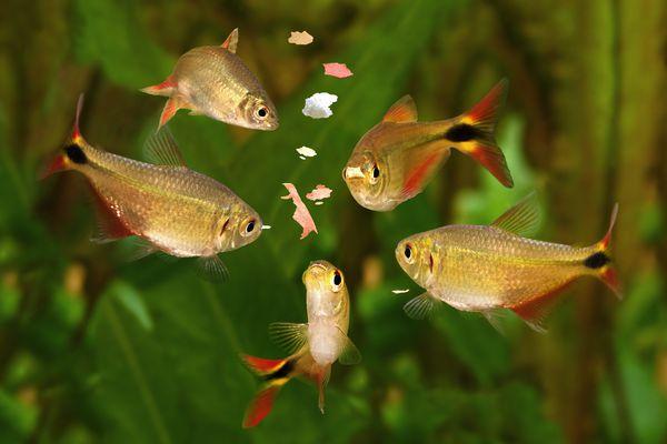 feeding swarm buenos aires tetra aquarium fish eating flake food