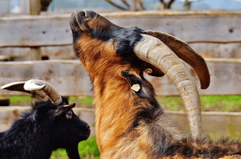 Goats with long horns