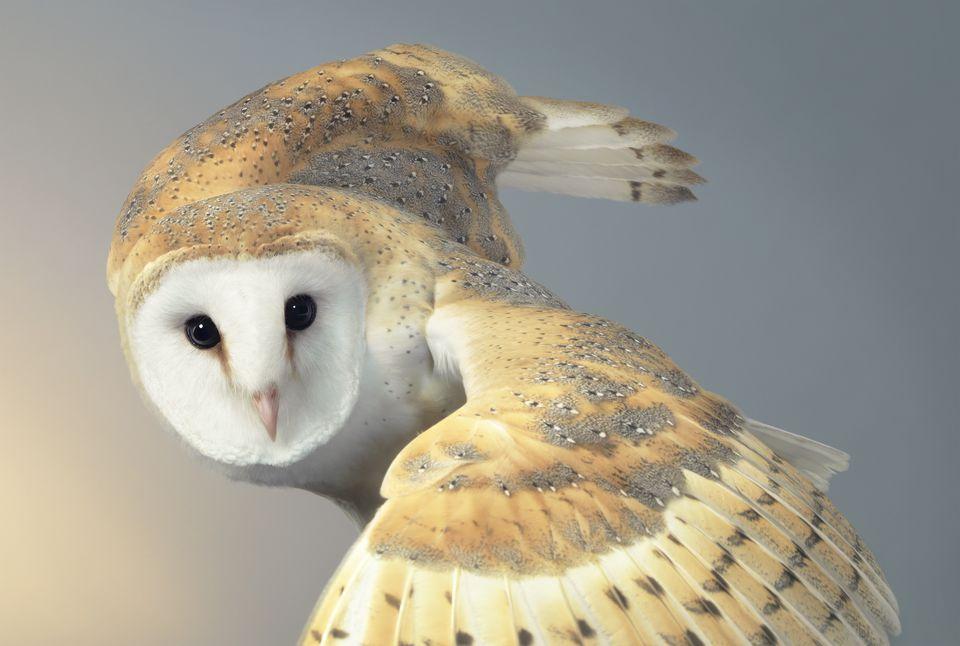 A close-up of an owl