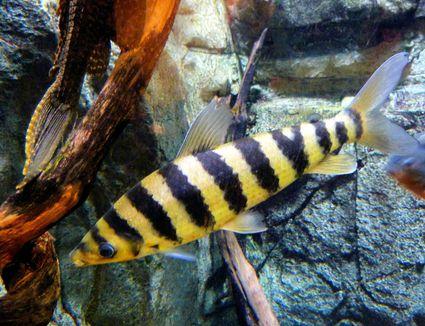 Black Banded Leporinus - Leporinus fasciatus