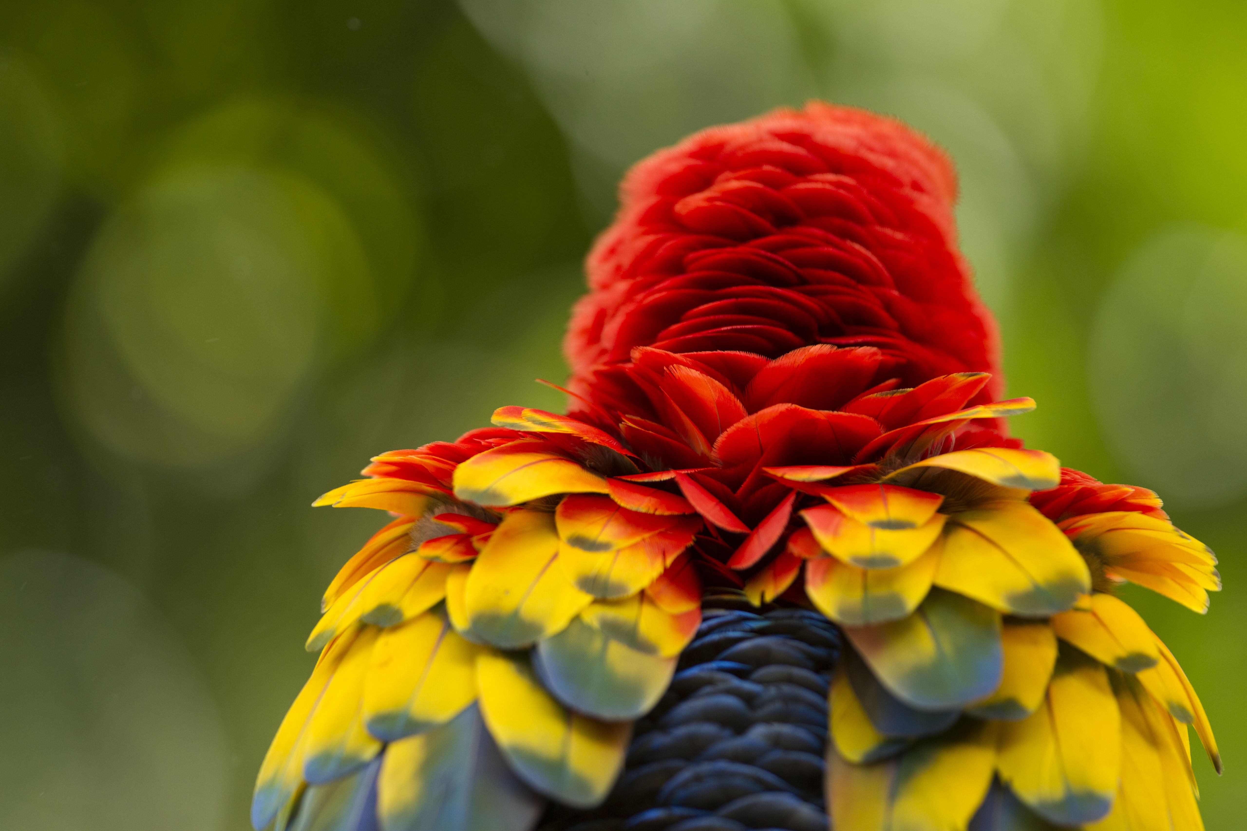 Scarlet Macaw fluffing feathers