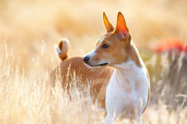 Basenji Portrait; African dog names