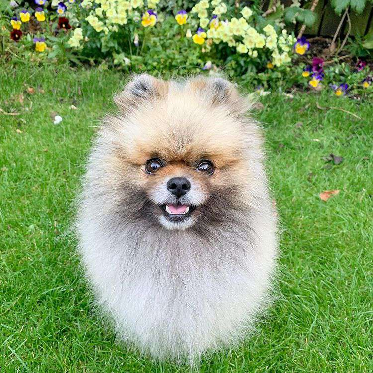 A fluffy pomeranian with a brown face standing in the grass and looking up at the camera.