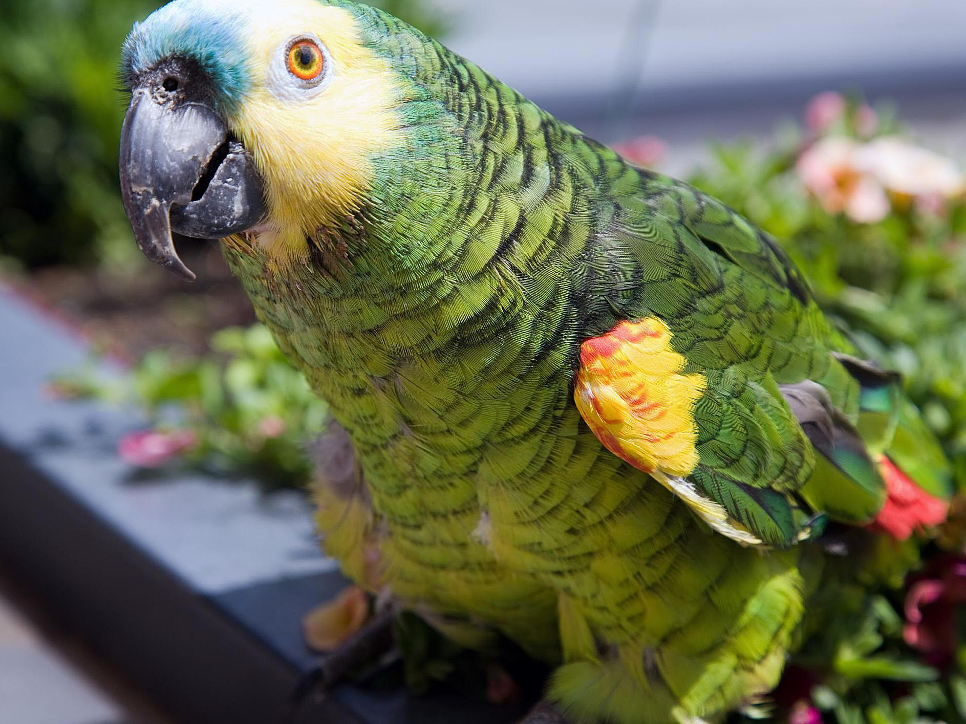 Interesting Amazon Parrot Facts