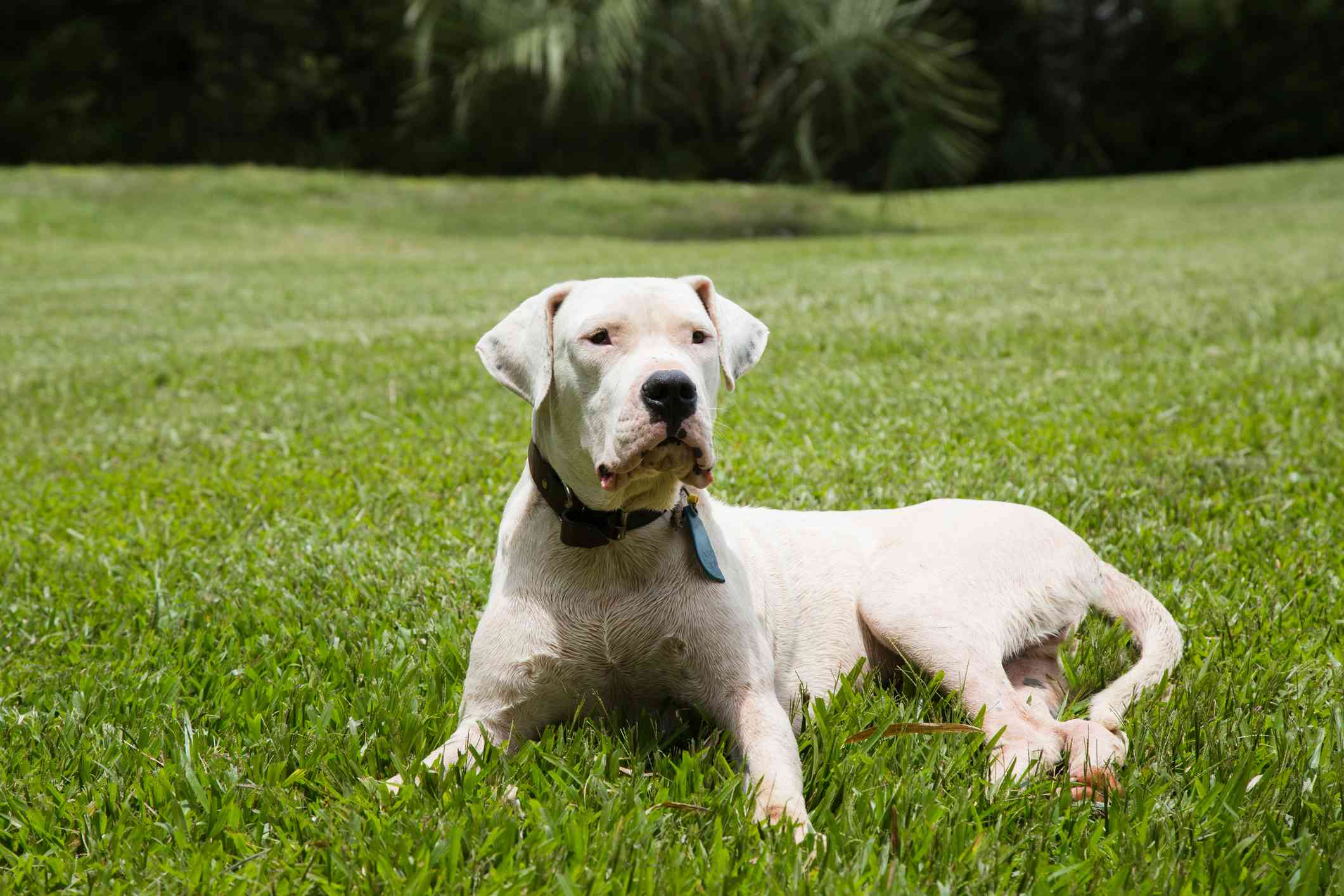 Dogo Argentino lying on a lawn