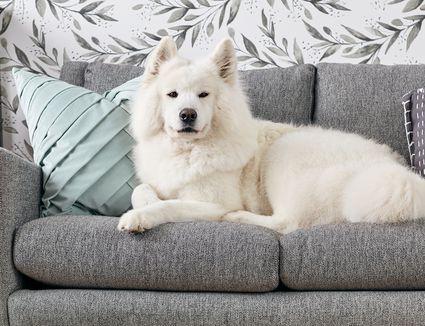 A Samoyed on a sofa