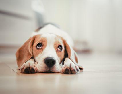 Beagle puppy lying down