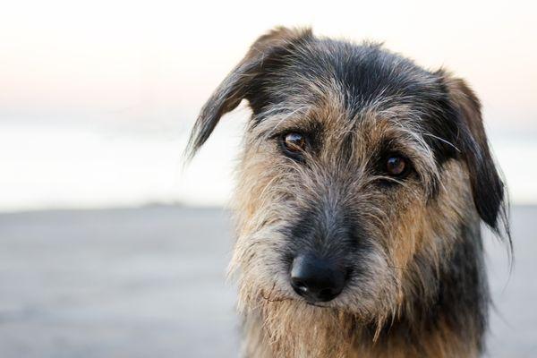 Sad stray dog with gray shaggy fur.