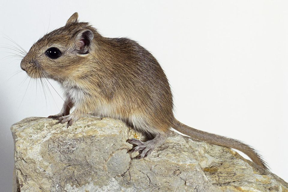 Mongolian gerbil, large eyes, large back feet, pale fur for desert camouflage, sitting on rock, side view.