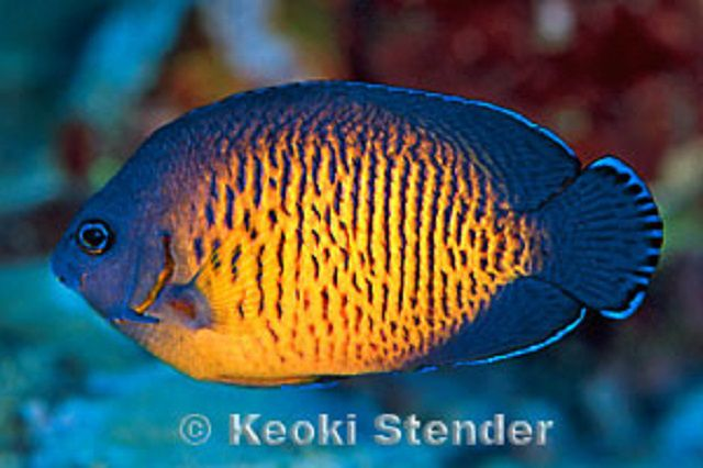 Coral Beauty Angelfish (Centropyge bispinosus)