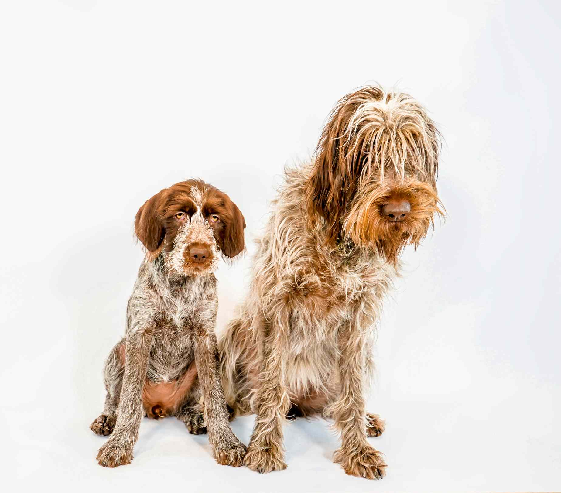 Pup Wirehaired Pointing Griffon and his Mother