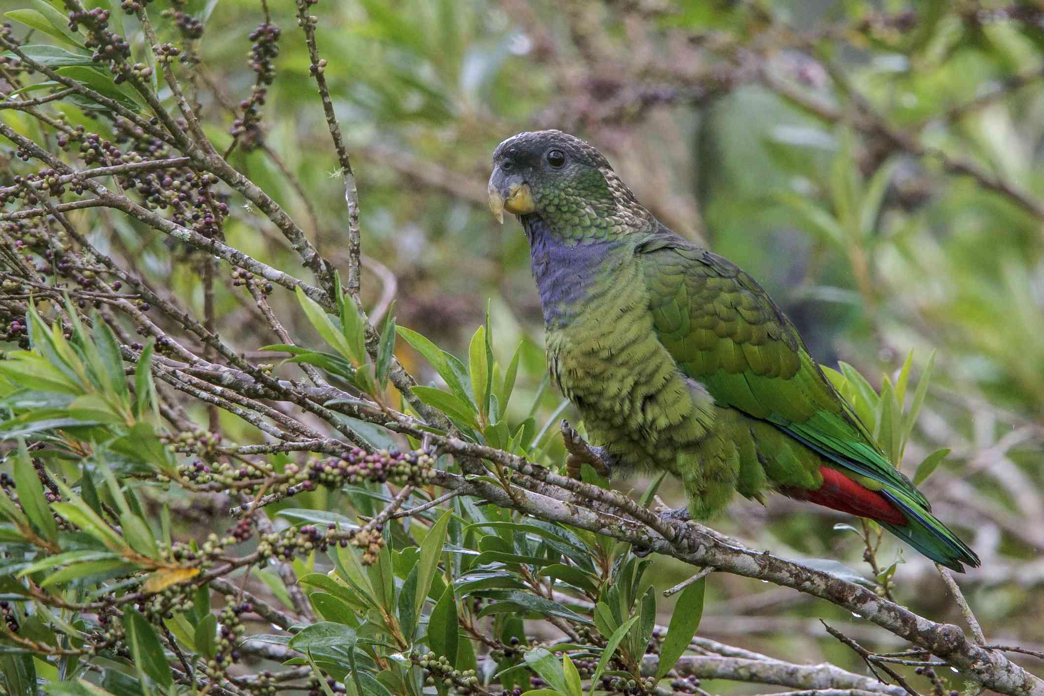Pionus parrot in a tree